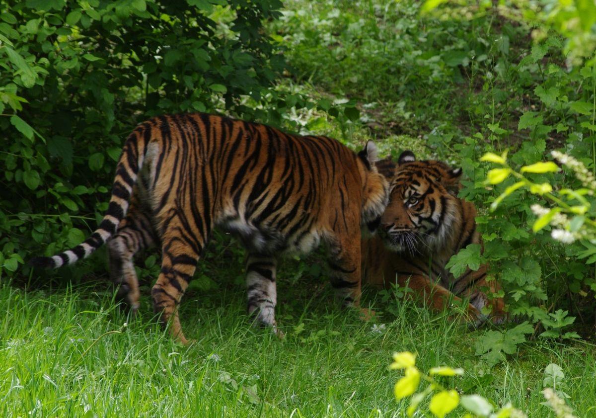 zoo_tiger_TJ139910_b Abendführungen im Zoo Augsburg Freizeit News Abendführung Zoo Augsburg |Presse Augsburg