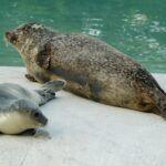 Seehundbaby3-150x150 Zoo Augsburg freut sich über Nachwuchs: Seehundmädchen geboren Freizeit News Nachwuchs Seehund Seehunde Zoo Augsburg |Presse Augsburg