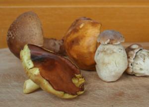 Pilze-essbareArten-QuelleAGDW-300x216 Die Pilzsaison läuft! Wissen Sie, welche Pilze wirklich genießbar sind? Freizeit News Pilze Pilzverein Augsburg Stadtmarkt |Presse Augsburg