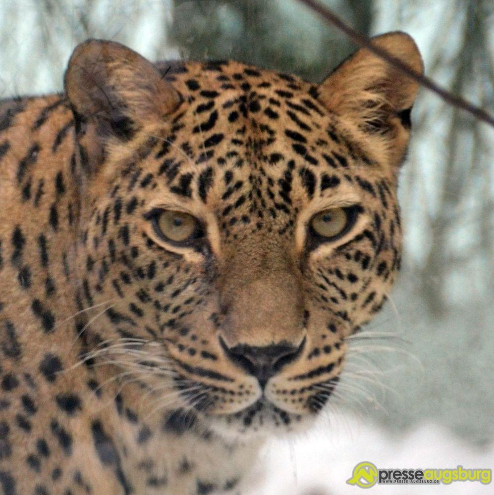 20141228_zoo_winter_leopard_001 Alle Jahre wieder | An diesem Sonntag findet wieder das beliebte Adventssingen im Zoo Augsburg statt Augsburg Stadt Freizeit News Zoo Augsburg Adventssingen Zoo Augsburg |Presse Augsburg