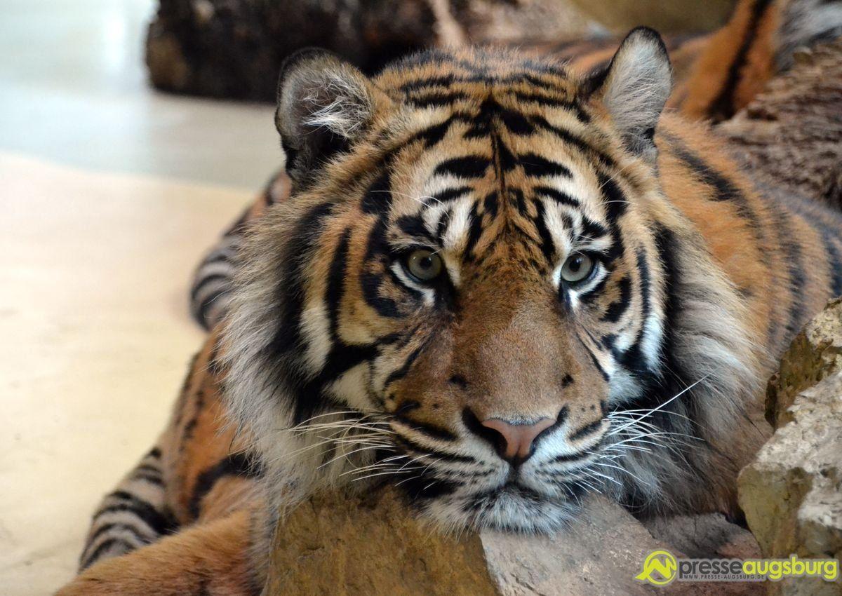 20150219 Zoo Tiger 004