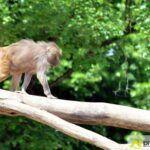 20150530_zoo_003_pavian-150x150 Bildergalerie | Ein Spaziergang durch den Augsburger Zoo - Die vielleicht letzten Aufnahmen von Nashorn Daniel Bildergalerien Freizeit News Bildergalerie Zoo Augsburg |Presse Augsburg