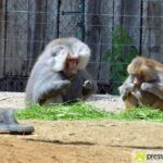 20150530_zoo_004_pavian-150x150 Bildergalerie | Ein Spaziergang durch den Augsburger Zoo - Die vielleicht letzten Aufnahmen von Nashorn Daniel Bildergalerien Freizeit News Bildergalerie Zoo Augsburg |Presse Augsburg