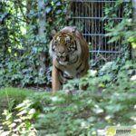 20150530_zoo_013_tiger-150x150 Bildergalerie | Ein Spaziergang durch den Augsburger Zoo - Die vielleicht letzten Aufnahmen von Nashorn Daniel Bildergalerien Freizeit News Bildergalerie Zoo Augsburg |Presse Augsburg