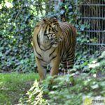 20150530_zoo_014_tiger-150x150 Bildergalerie | Ein Spaziergang durch den Augsburger Zoo - Die vielleicht letzten Aufnahmen von Nashorn Daniel Bildergalerien Freizeit News Bildergalerie Zoo Augsburg |Presse Augsburg
