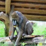 20150530_zoo_034_mandrill-150x150 Bildergalerie | Ein Spaziergang durch den Augsburger Zoo - Die vielleicht letzten Aufnahmen von Nashorn Daniel Bildergalerien Freizeit News Bildergalerie Zoo Augsburg |Presse Augsburg