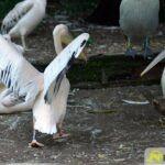 20150530_zoo_045_pelikan-150x150 Bildergalerie | Ein Spaziergang durch den Augsburger Zoo - Die vielleicht letzten Aufnahmen von Nashorn Daniel Bildergalerien Freizeit News Bildergalerie Zoo Augsburg |Presse Augsburg