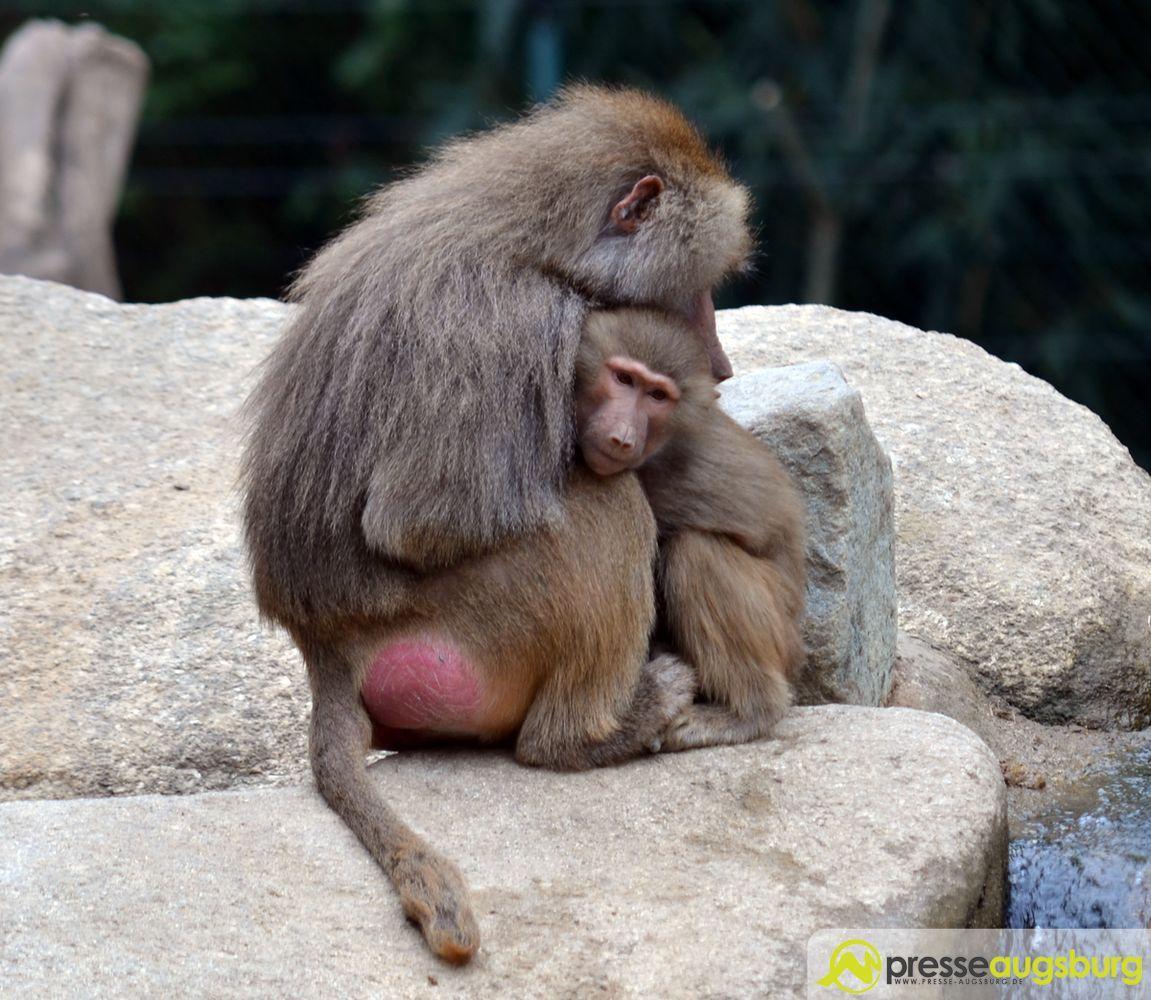 20150905_zoo_003_pavian Gewinnspiel | Der besondere Geschenktipp - Die Jahreskarte für den Zoo Augsburg Augsburg Stadt Bildergalerien Freizeit Gewinnspiele News Newsletter Zoo Augsburg Zoo Augsburg |Presse Augsburg
