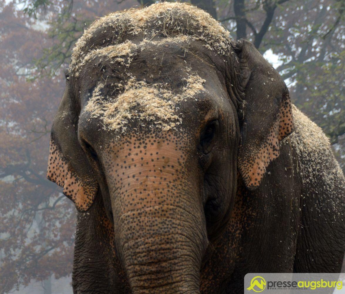 20151103_zoo_elefantenpapier_023_elefant Zoo Augsburg aktuell   Das neue Jahr startet mit zahlreichen neuen (jungen) Bewohnern Augsburg Stadt Bildergalerien Freizeit News Newsletter Videos Zoo Augsburg Zoo Augsburg aktuell  Presse Augsburg