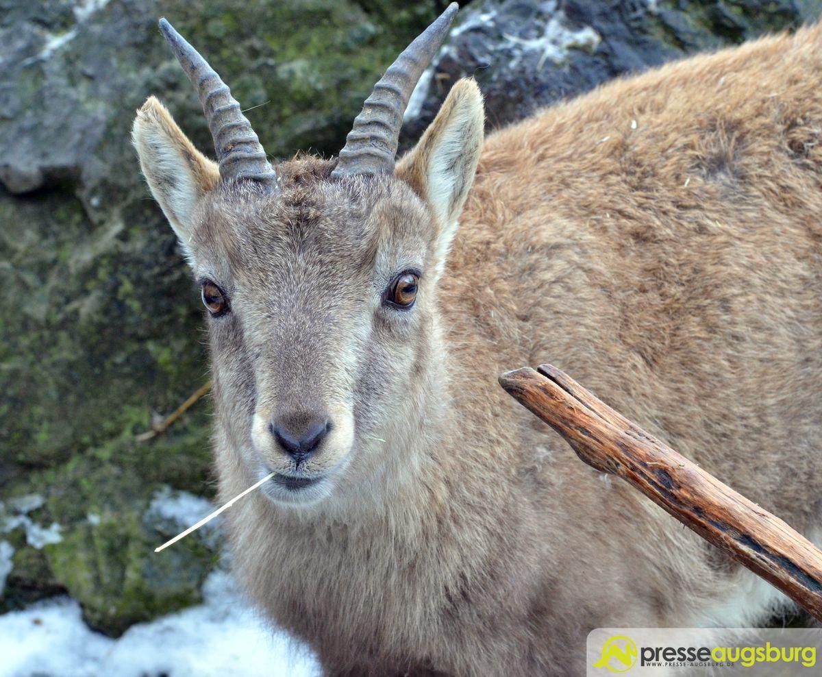 Citaten Winter Zoo : Zoo winter steinbock presse augsburg