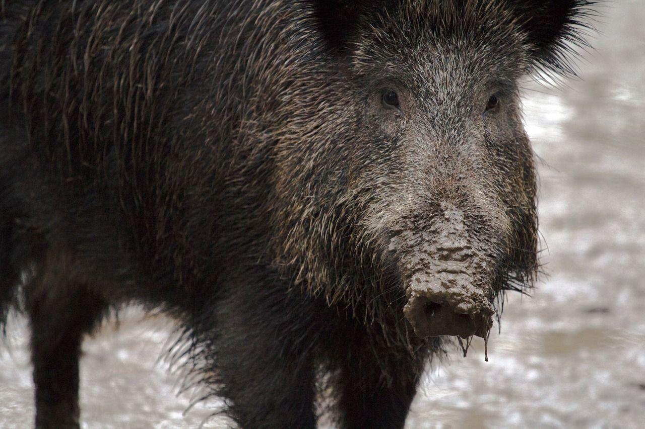 wildschwein Kreis Augsburg | Wilderer lässt geschossene Tiere qualvoll verenden Landkreis Augsburg News Langeneufnach Wilderer |Presse Augsburg