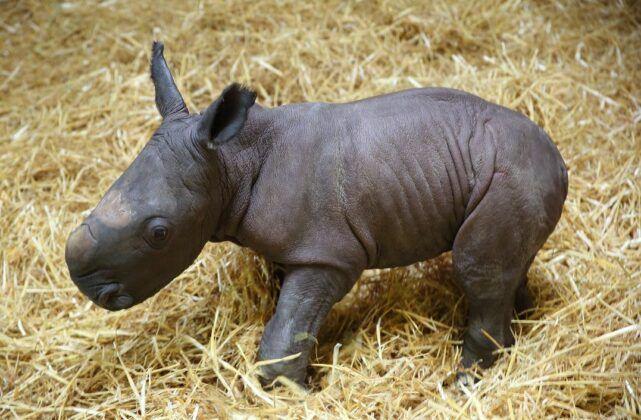 Zoo Nashorn Kibo Reduziert