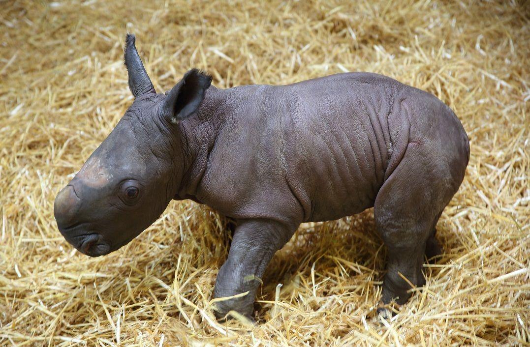 zoo_nashorn_Kibo_reduziert Ciao Kibo   Augsburger Nachwuchs-Nashorn an den Zoo Rom abgegeben Augsburg Stadt Bildergalerien News Newsletter Zoo Augsburg Kibo Nashorn Zoo Augsburg  Presse Augsburg