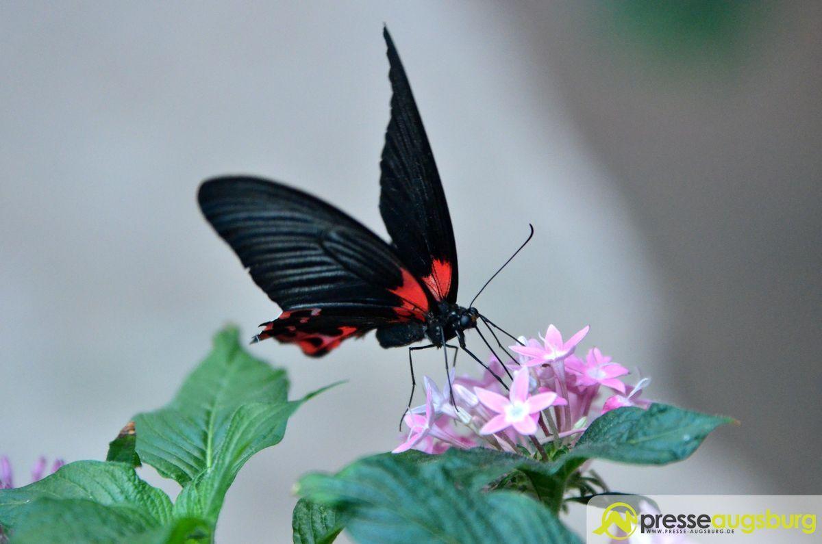 Faszination Tropischer Schmetterlinge Im Botanischen Garten Augsburg Presse Augsburg