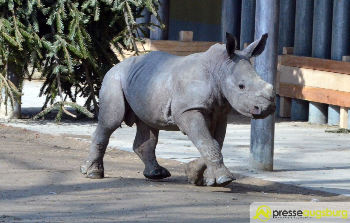 20160310_zoo_026_nashorn-kibo Ciao Kibo   Augsburger Nachwuchs-Nashorn an den Zoo Rom abgegeben Augsburg Stadt Bildergalerien News Newsletter Zoo Augsburg Kibo Nashorn Zoo Augsburg  Presse Augsburg