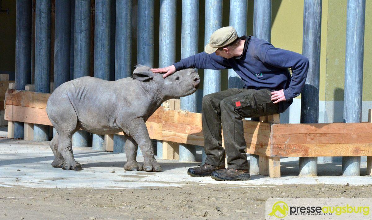 20160310_zoo_028_nashorn-Kibo Ciao Kibo   Augsburger Nachwuchs-Nashorn an den Zoo Rom abgegeben Augsburg Stadt Bildergalerien News Newsletter Zoo Augsburg Kibo Nashorn Zoo Augsburg  Presse Augsburg