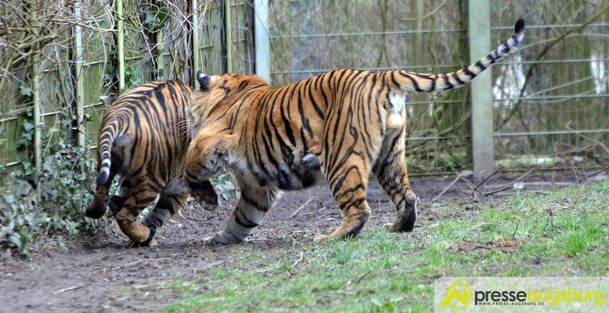 20160310 zoo 078 tiger presse augsburg nachrichten f r augsburg und bayerisch schwaben. Black Bedroom Furniture Sets. Home Design Ideas