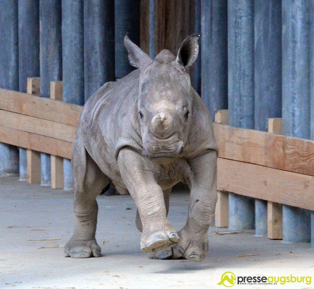 20160329_zoo_014_nashorn-kibo Ciao Kibo   Augsburger Nachwuchs-Nashorn an den Zoo Rom abgegeben Augsburg Stadt Bildergalerien News Newsletter Zoo Augsburg Kibo Nashorn Zoo Augsburg  Presse Augsburg