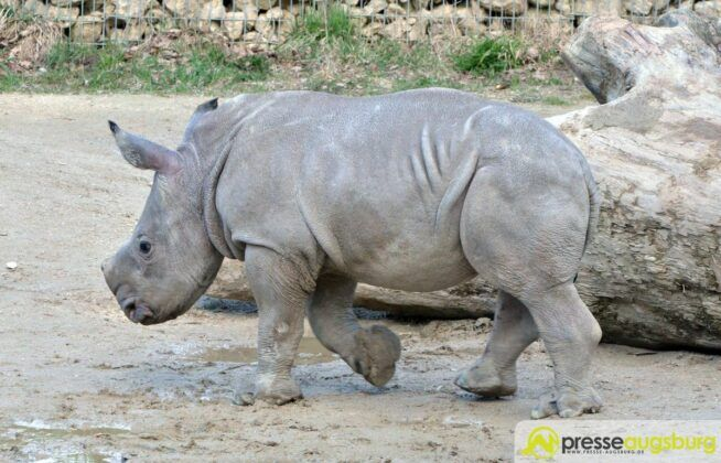 20160329 Zoo 020 Nashorn Kibo