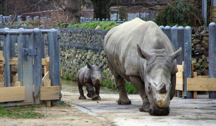 Zoo Nashorn Tj139232 K2 1