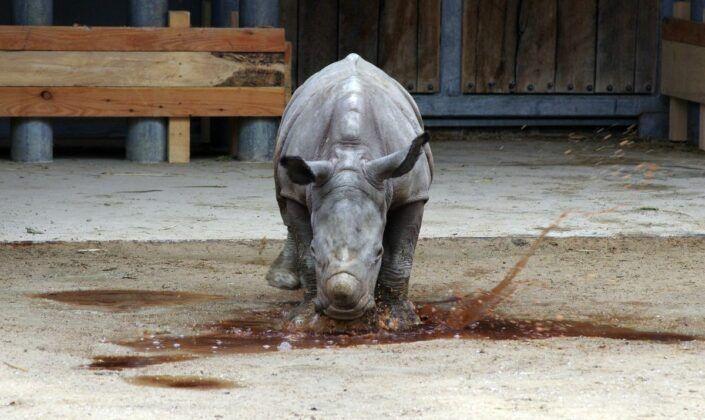Zoo Nashorn Tj139334 K 1