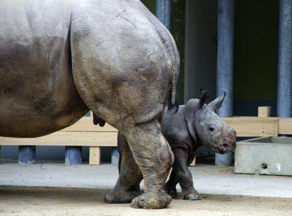 Zoo Nashorntj139280 K 1
