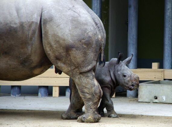 Zoo Nashorntj139280 K