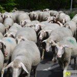 2017-05-15-Wanderschäfer-–-02-150x150 Mehr als 500 Schafe und Ziegen ziehen quer durch Augsburg Augsburg Stadt Bildergalerien News Augsburg Kuhsee Lechtal-Lamm Schafe Wertach Ziegen |Presse Augsburg