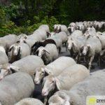 2017-05-15-Wanderschäfer-–-04-150x150 Mehr als 500 Schafe und Ziegen ziehen quer durch Augsburg Augsburg Stadt Bildergalerien News Augsburg Kuhsee Lechtal-Lamm Schafe Wertach Ziegen |Presse Augsburg