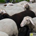 2017-05-15-Wanderschäfer-–-05-150x150 Mehr als 500 Schafe und Ziegen ziehen quer durch Augsburg Augsburg Stadt Bildergalerien News Augsburg Kuhsee Lechtal-Lamm Schafe Wertach Ziegen |Presse Augsburg