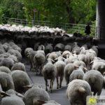 2017-05-15-Wanderschäfer-–-06-150x150 Mehr als 500 Schafe und Ziegen ziehen quer durch Augsburg Augsburg Stadt Bildergalerien News Augsburg Kuhsee Lechtal-Lamm Schafe Wertach Ziegen |Presse Augsburg
