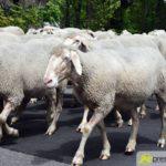 2017-05-15-Wanderschäfer-–-08-150x150 Mehr als 500 Schafe und Ziegen ziehen quer durch Augsburg Augsburg Stadt Bildergalerien News Augsburg Kuhsee Lechtal-Lamm Schafe Wertach Ziegen |Presse Augsburg