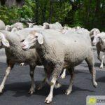 2017-05-15-Wanderschäfer-–-10-150x150 Mehr als 500 Schafe und Ziegen ziehen quer durch Augsburg Augsburg Stadt Bildergalerien News Augsburg Kuhsee Lechtal-Lamm Schafe Wertach Ziegen |Presse Augsburg