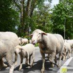 2017-05-15-Wanderschäfer-–-11-150x150 Mehr als 500 Schafe und Ziegen ziehen quer durch Augsburg Augsburg Stadt Bildergalerien News Augsburg Kuhsee Lechtal-Lamm Schafe Wertach Ziegen |Presse Augsburg