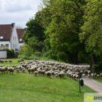2017-05-15-Wanderschäfer-–-15-150x150 Mehr als 500 Schafe und Ziegen ziehen quer durch Augsburg Augsburg Stadt Bildergalerien News Augsburg Kuhsee Lechtal-Lamm Schafe Wertach Ziegen |Presse Augsburg