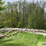 2017-05-15-Wanderschäfer-–-16-150x150 Mehr als 500 Schafe und Ziegen ziehen quer durch Augsburg Augsburg Stadt Bildergalerien News Augsburg Kuhsee Lechtal-Lamm Schafe Wertach Ziegen |Presse Augsburg