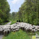 2017-05-15-Wanderschäfer-–-17-150x150 Mehr als 500 Schafe und Ziegen ziehen quer durch Augsburg Augsburg Stadt Bildergalerien News Augsburg Kuhsee Lechtal-Lamm Schafe Wertach Ziegen |Presse Augsburg