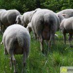 2017-05-15-Wanderschäfer-–-18-150x150 Mehr als 500 Schafe und Ziegen ziehen quer durch Augsburg Augsburg Stadt Bildergalerien News Augsburg Kuhsee Lechtal-Lamm Schafe Wertach Ziegen |Presse Augsburg