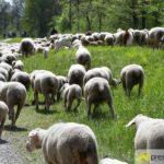 2017-05-15-Wanderschäfer-–-19-150x150 Mehr als 500 Schafe und Ziegen ziehen quer durch Augsburg Augsburg Stadt Bildergalerien News Augsburg Kuhsee Lechtal-Lamm Schafe Wertach Ziegen |Presse Augsburg