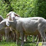 2017-05-15-Wanderschäfer-–-24-150x150 Mehr als 500 Schafe und Ziegen ziehen quer durch Augsburg Augsburg Stadt Bildergalerien News Augsburg Kuhsee Lechtal-Lamm Schafe Wertach Ziegen |Presse Augsburg