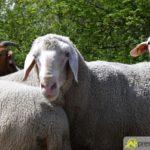 2017-05-15-Wanderschäfer-–-25-150x150 Mehr als 500 Schafe und Ziegen ziehen quer durch Augsburg Augsburg Stadt Bildergalerien News Augsburg Kuhsee Lechtal-Lamm Schafe Wertach Ziegen |Presse Augsburg