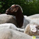 2017-05-15-Wanderschäfer-–-26-150x150 Mehr als 500 Schafe und Ziegen ziehen quer durch Augsburg Augsburg Stadt Bildergalerien News Augsburg Kuhsee Lechtal-Lamm Schafe Wertach Ziegen |Presse Augsburg