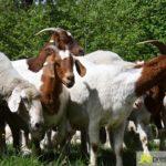 2017-05-15-Wanderschäfer-–-29-150x150 Mehr als 500 Schafe und Ziegen ziehen quer durch Augsburg Augsburg Stadt Bildergalerien News Augsburg Kuhsee Lechtal-Lamm Schafe Wertach Ziegen |Presse Augsburg