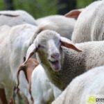 2017-05-15-Wanderschäfer-–-30-150x150 Mehr als 500 Schafe und Ziegen ziehen quer durch Augsburg Augsburg Stadt Bildergalerien News Augsburg Kuhsee Lechtal-Lamm Schafe Wertach Ziegen |Presse Augsburg
