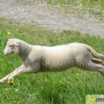 2017-05-15-Wanderschäfer-–-34-150x150 Mehr als 500 Schafe und Ziegen ziehen quer durch Augsburg Augsburg Stadt Bildergalerien News Augsburg Kuhsee Lechtal-Lamm Schafe Wertach Ziegen |Presse Augsburg