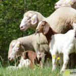 2017-05-15-Wanderschäfer-–-35-150x150 Mehr als 500 Schafe und Ziegen ziehen quer durch Augsburg Augsburg Stadt Bildergalerien News Augsburg Kuhsee Lechtal-Lamm Schafe Wertach Ziegen |Presse Augsburg