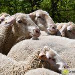 2017-05-15-Wanderschäfer-–-37-150x150 Mehr als 500 Schafe und Ziegen ziehen quer durch Augsburg Augsburg Stadt Bildergalerien News Augsburg Kuhsee Lechtal-Lamm Schafe Wertach Ziegen |Presse Augsburg