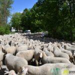2017-05-15-Wanderschäfer-–-38-150x150 Mehr als 500 Schafe und Ziegen ziehen quer durch Augsburg Augsburg Stadt Bildergalerien News Augsburg Kuhsee Lechtal-Lamm Schafe Wertach Ziegen |Presse Augsburg