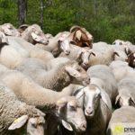2017-05-15-Wanderschäfer-–-44-150x150 Mehr als 500 Schafe und Ziegen ziehen quer durch Augsburg Augsburg Stadt Bildergalerien News Augsburg Kuhsee Lechtal-Lamm Schafe Wertach Ziegen |Presse Augsburg