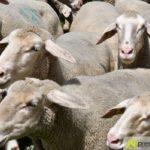 2017-05-15-Wanderschäfer-–-45-150x150 Mehr als 500 Schafe und Ziegen ziehen quer durch Augsburg Augsburg Stadt Bildergalerien News Augsburg Kuhsee Lechtal-Lamm Schafe Wertach Ziegen |Presse Augsburg